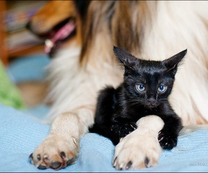 cat, collie, and dog image