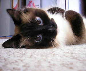 adorable, siamese, and cute image