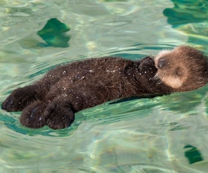 otter, animal, and water image