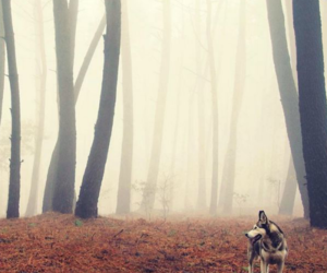 wolf, dog, and forest image