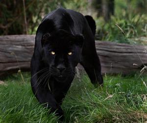 animal, wild, and black image