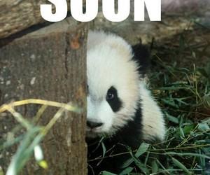 panda, cuddle, and funny image