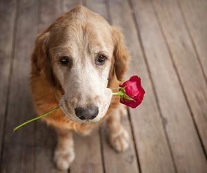 dog, rose, and flower image
