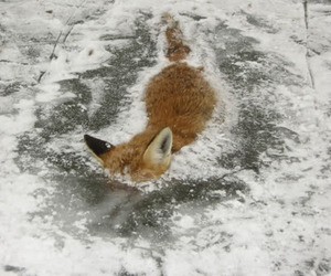 fox, ice, and frozen image