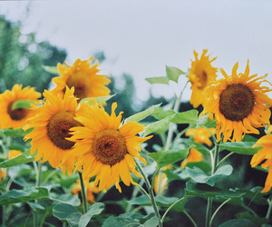 flowers, yellow, and sun image