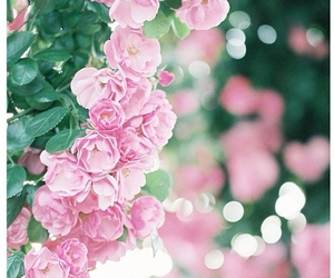background, pink, and roses image