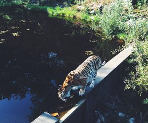animal, tigers, and zoo image