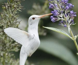 albino, bird, and hummingbird image