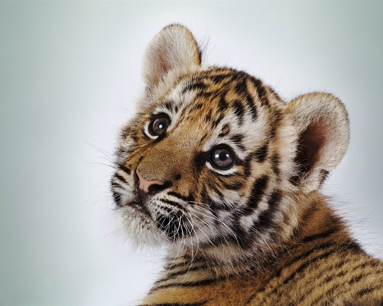 Bebe Tigre Discovered By Marie On We Heart It