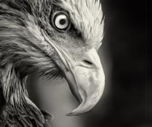 eagle, bird, and black and white image