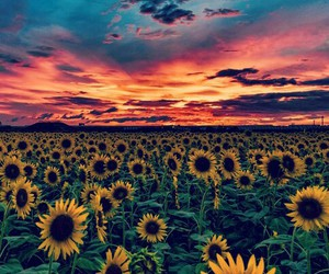 sunflower and sunset image