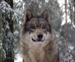 snow and wolf image