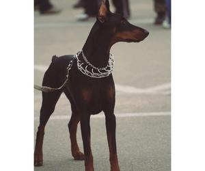 animal, dobermann, and dog image