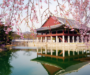 cherry blossoms and south korea image