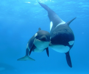 ocean, orca, and whale image