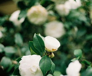 flower and camellia image
