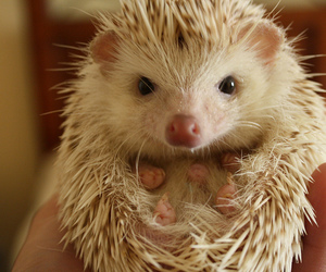 hedgehog, pet, and quilbert image