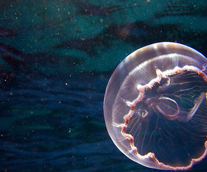 jellyfish, ocean, and photography image