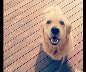 dog, golden retriever, and photo image