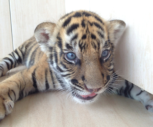 baby, tiger, and blue image