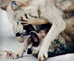 wolf, fight, and photography image