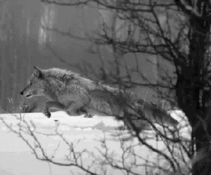 wolf, snow, and black and white image