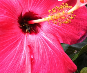 flower, pink, and hibisco image