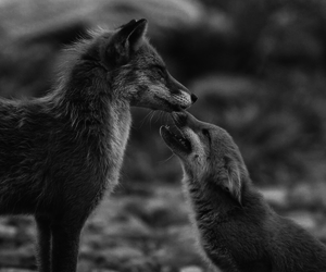 animal, fox, and black and white image