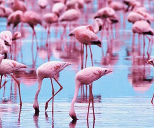 pink, flamingo, and water image