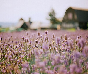 flowers, field, and lavender image