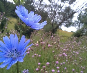 flowers, meadow, and chicory image