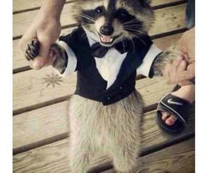 animal, raccoon, and funny image