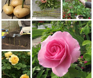 gardening, rose, and tips image
