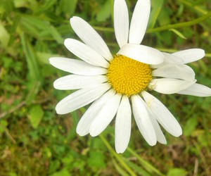 beauty, flower, and camomile image