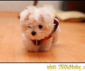 puppy, maltese, and white image