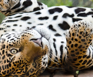animals, earth, and jaguar image