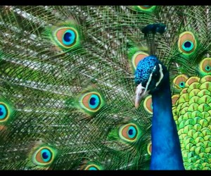 beauty, colourful, and peacock image