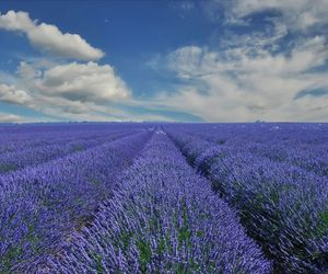 beautiful, lavender, and flower image