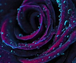 rose, flowers, and purple image
