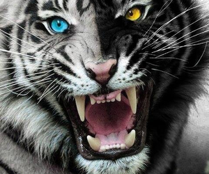 tiger and tiger's curse image