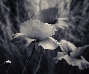 black and white, bokeh, and poppy image
