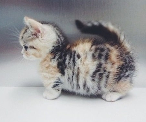brown, cutie, and cat image