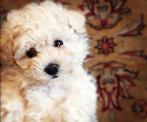 dog, puppy, and frenchpoodle image
