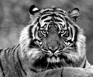 animal, big cat, and nature image
