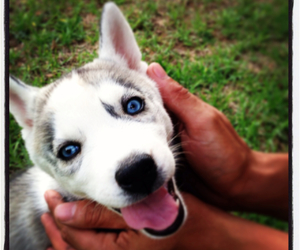 blue eyes, husky, and puppy image