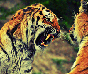 fight, orange, and tiger image