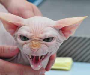 animal, hairless cat, and fangs image