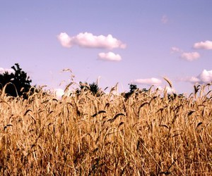 clouds, corn, and sky image