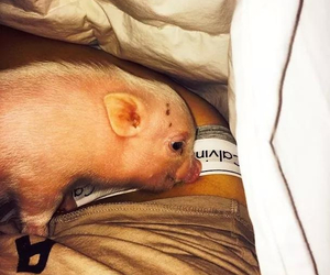 miley cyrus, pig, and Calvin Klein image