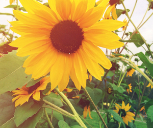 beauty, sunflower, and flower image